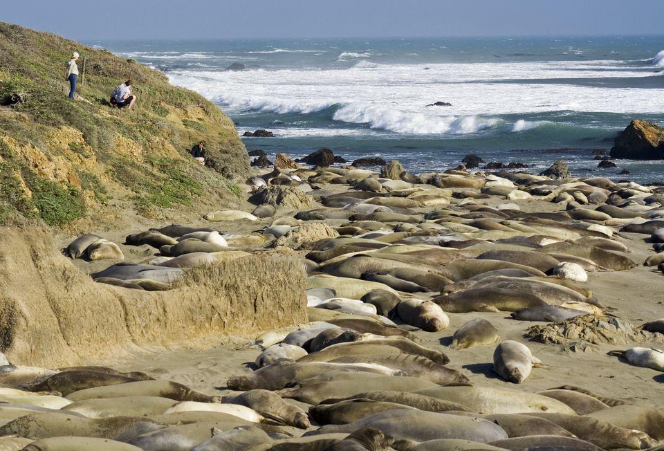 Elephant Seals at Piedras Blancas, near San Simeon, Elephant seals (Mirounga angustirostris)