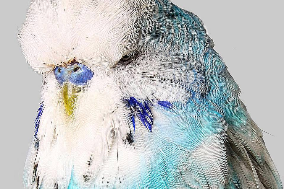 Budgerigar with blue and white feathers