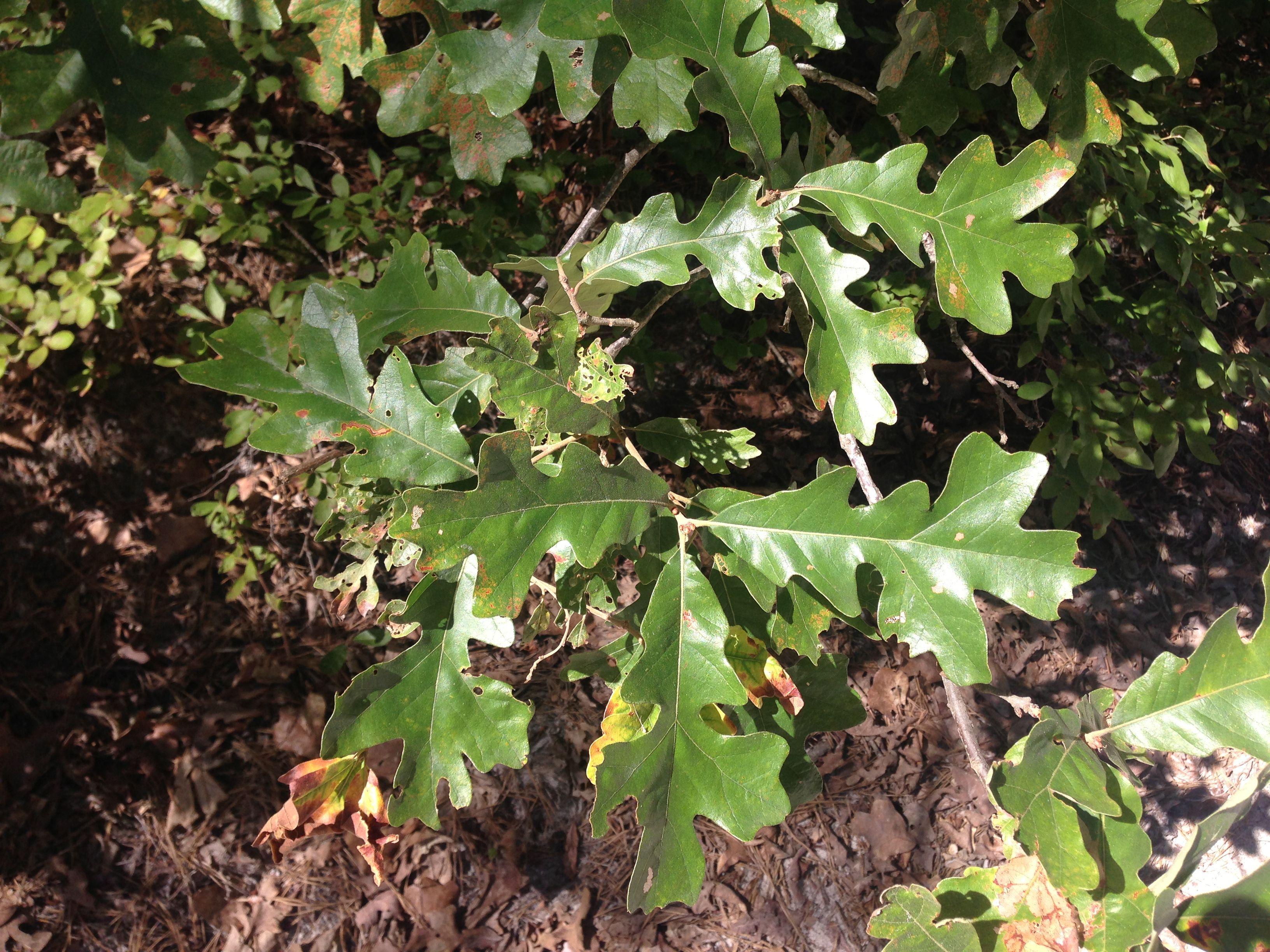 post oak a top 100 common tree in north america