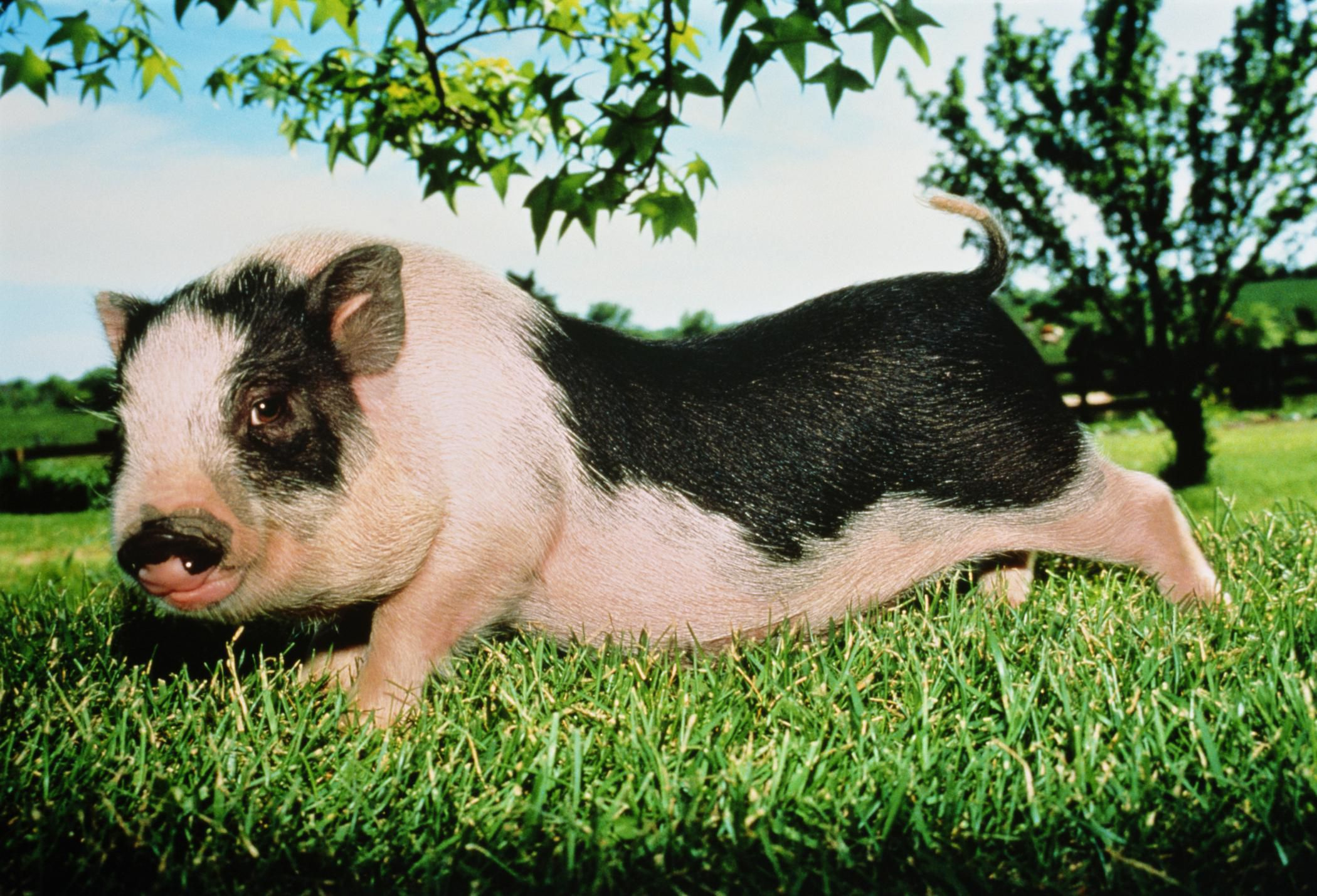 Socialize And Bond With Baby Pot Bellied Pigs