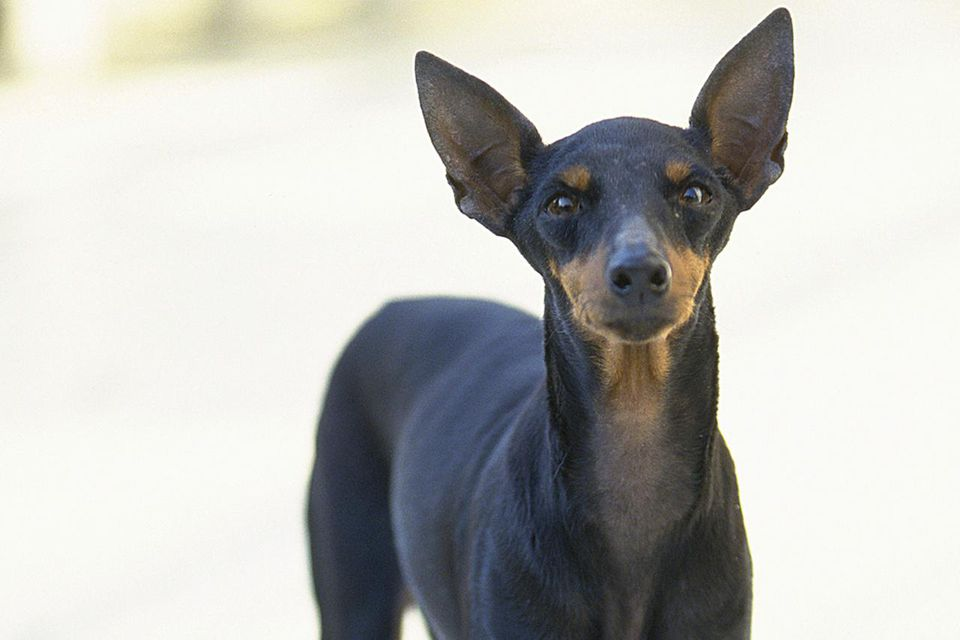 The Miniature Pinscher, also known as the Minpin by fanciers, is a toy breed of dog the Zwergpinscher. Minpins were first bred to hunt vermin, especially rats.