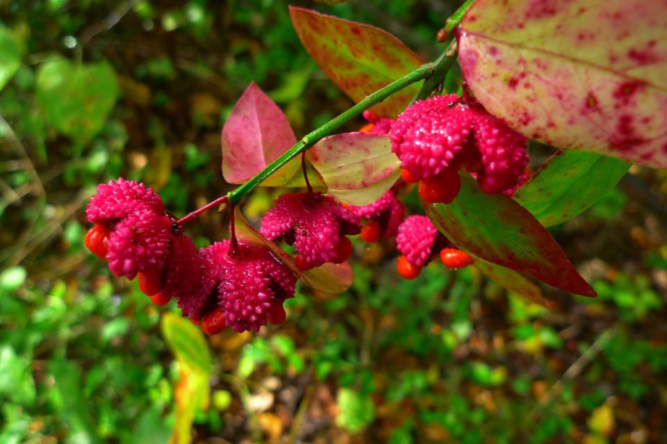 Fall colors are added by the European spindle tree