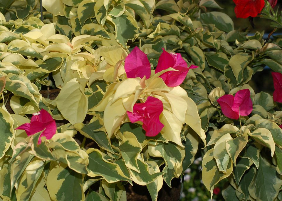 Arid-region standout variegated bougainvillea has nice leaves, as my picture shows.