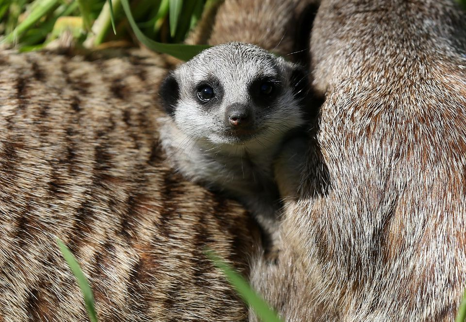 A 6-week-old meerkat pup lounges with adult meerkats in their enclosure at the Oakland Zoo on March 11, 2013 in Oakland, California.