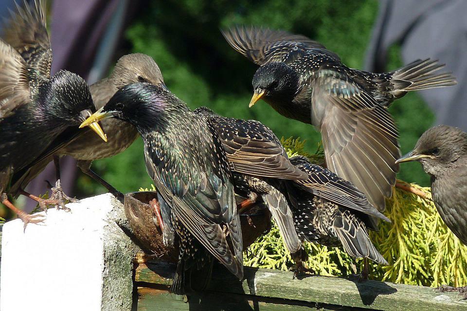 European Starlings at a Feeder