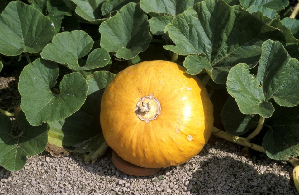 Grow Big Pumpkins For Jack O Lanterns