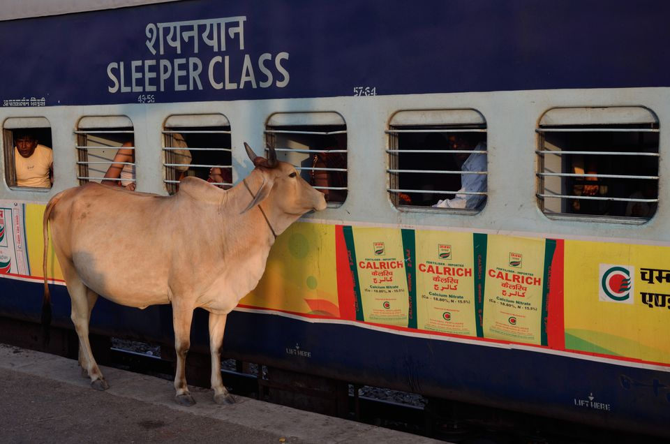 Cow peeping in window of coach on railway platform, Ajmer, Rajasthan, India