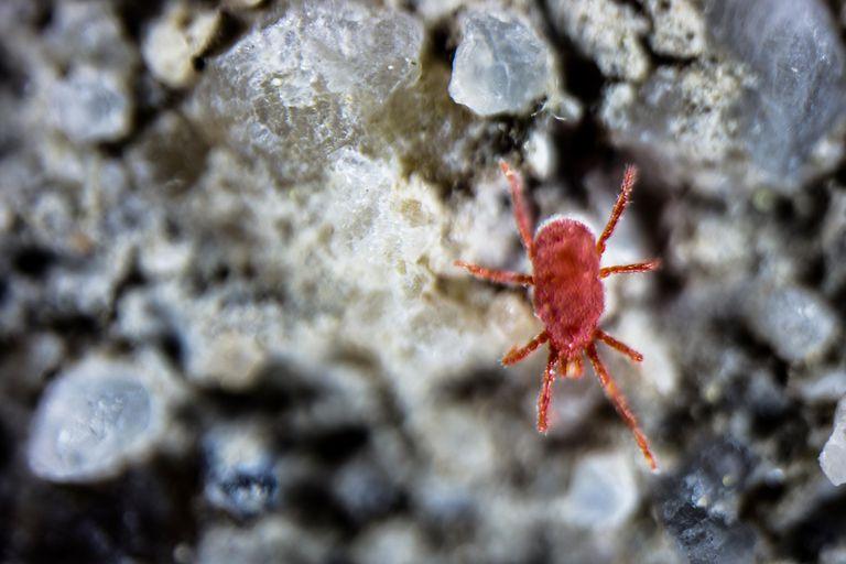 Red mite (clover mite)