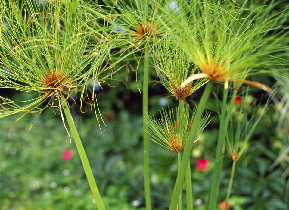 Papyrus Plants