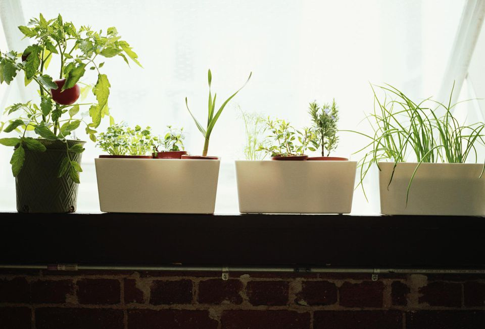 Tomato plant (Solanaceae) and herbs in window sill