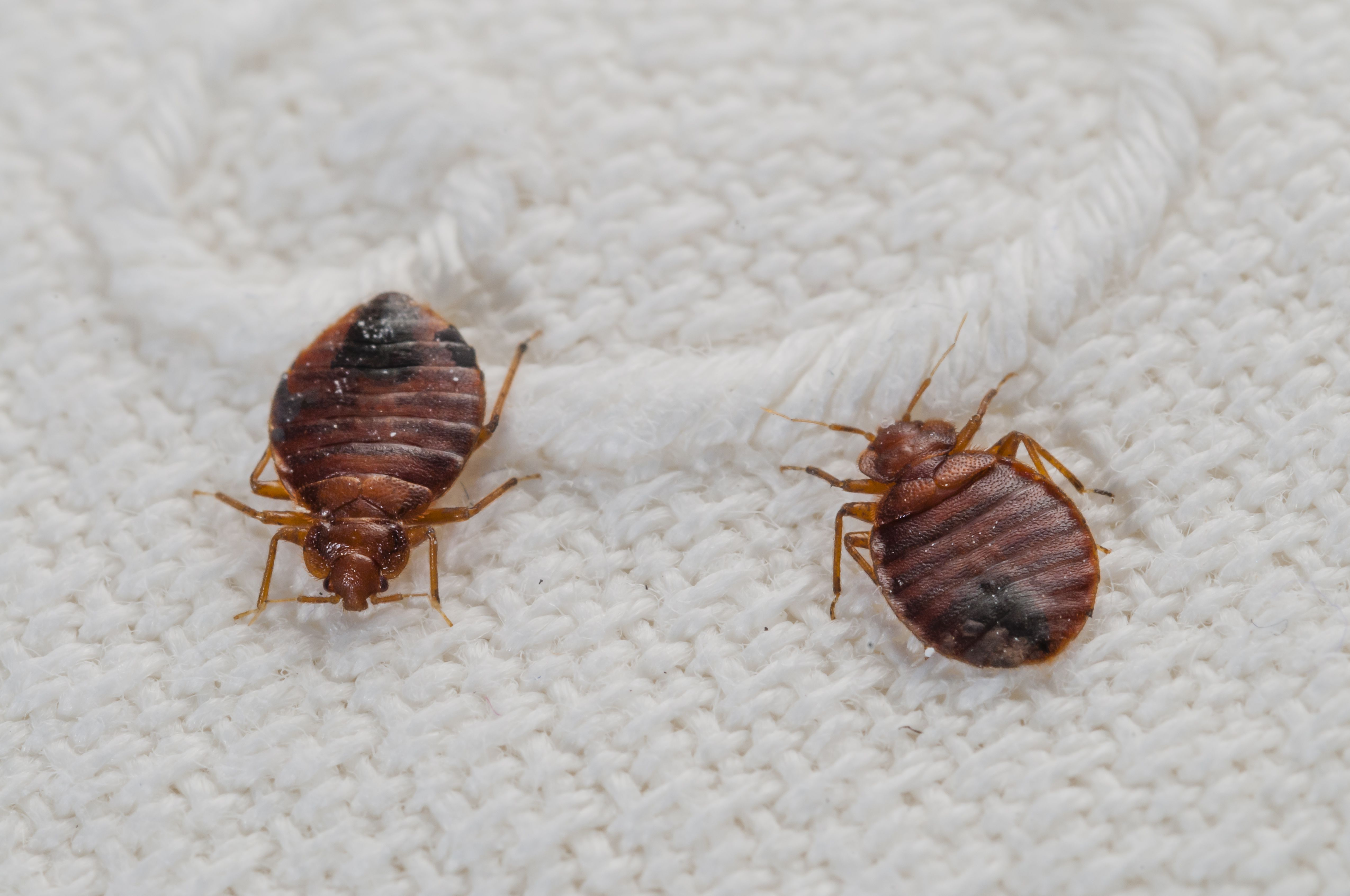 . If a Friend s Home Had Bed Bugs   What to Do