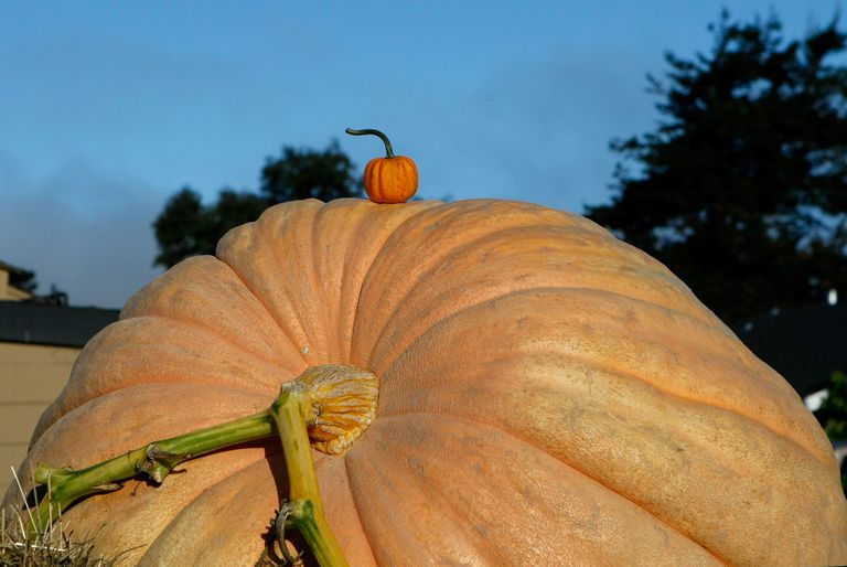 California Growers Compete For Largest Pumpkin Honors