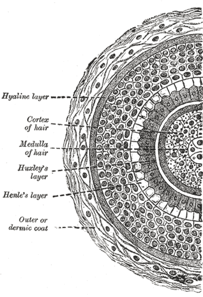 Cross section of hair follicle