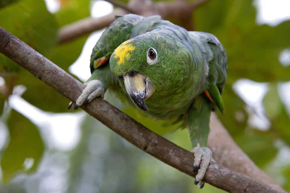 Mealy Amazon Parrots