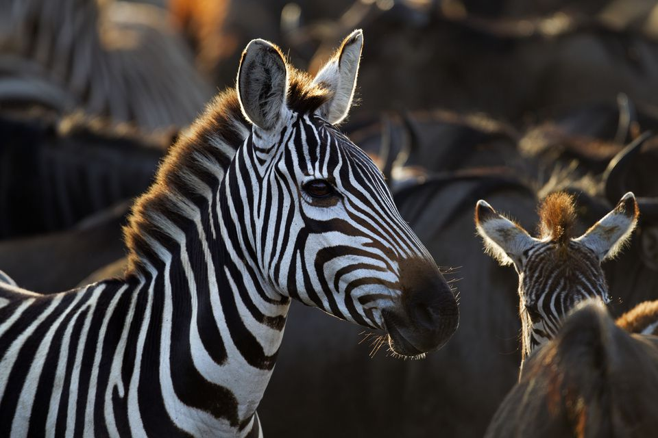 Common or Plains Zebra
