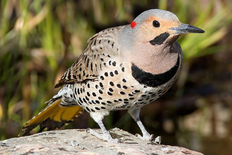 State Bird of Alabama - Northern Flicker