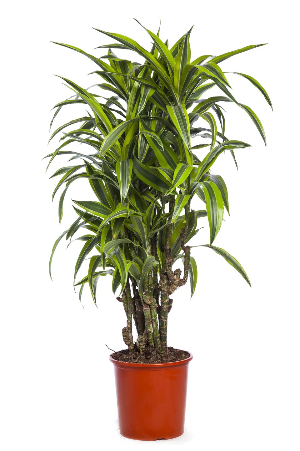 Dracaena Group Ti Trees D Draco And Other Dracaena