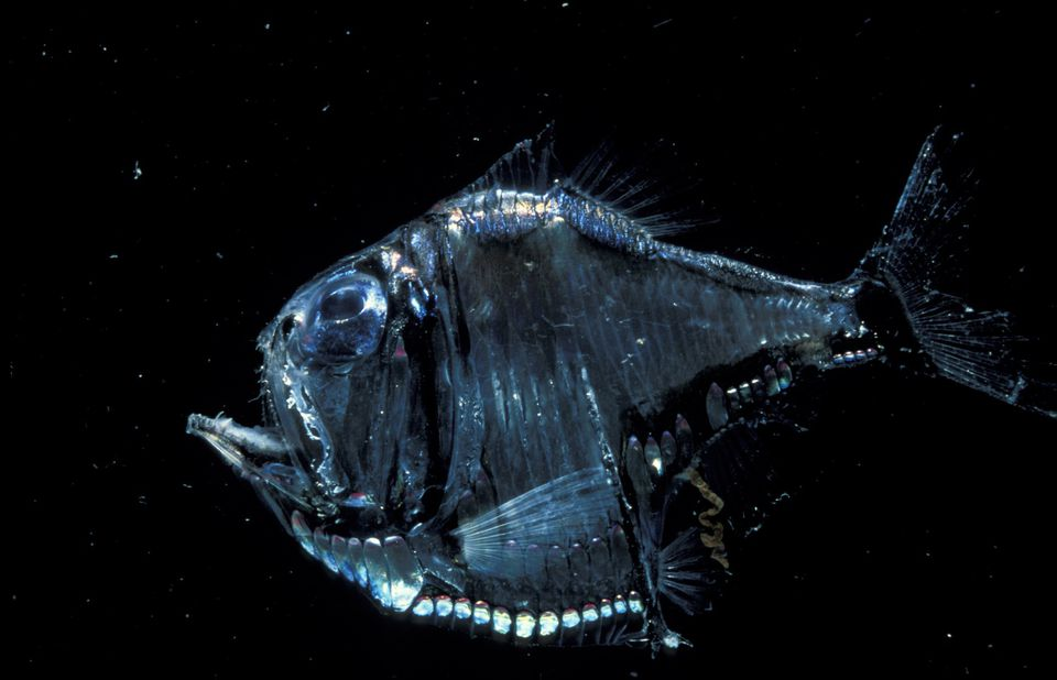 Deep sea Hatchet fish {Sternoptychidae} Atlantic ocean