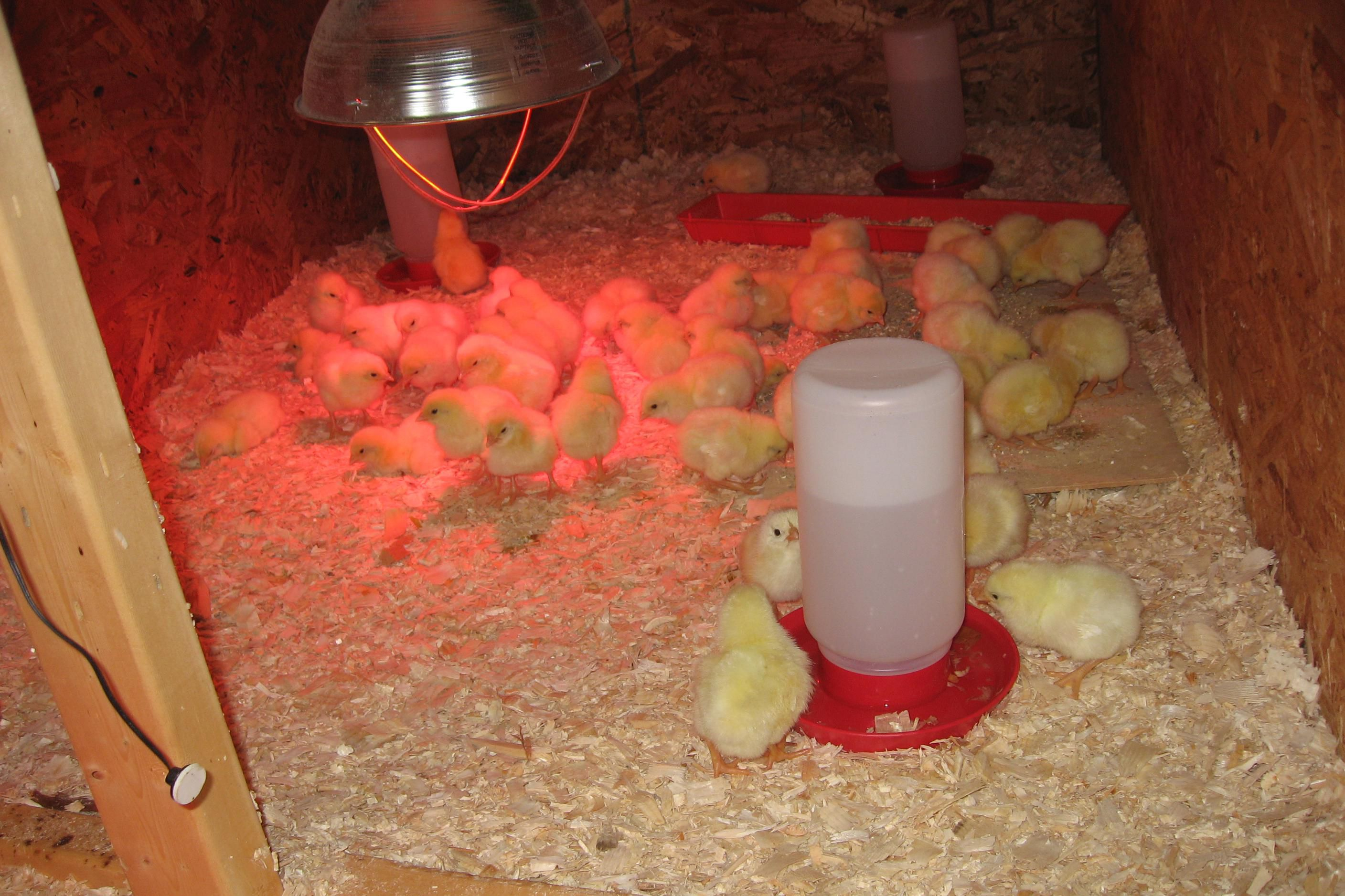 Cheap Auto Repair >> How to Build a Brooder for Baby Chicks