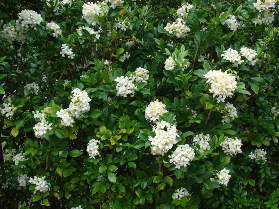 The flowers of the orange jasmine do smell like orange blossoms.