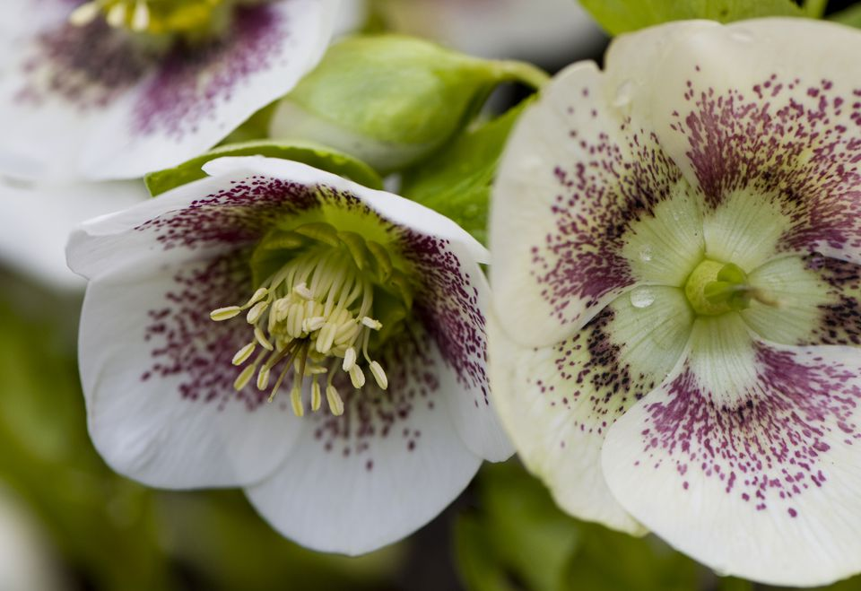 11 best perennial flowers for early spring spotted hellebore flowers mightylinksfo