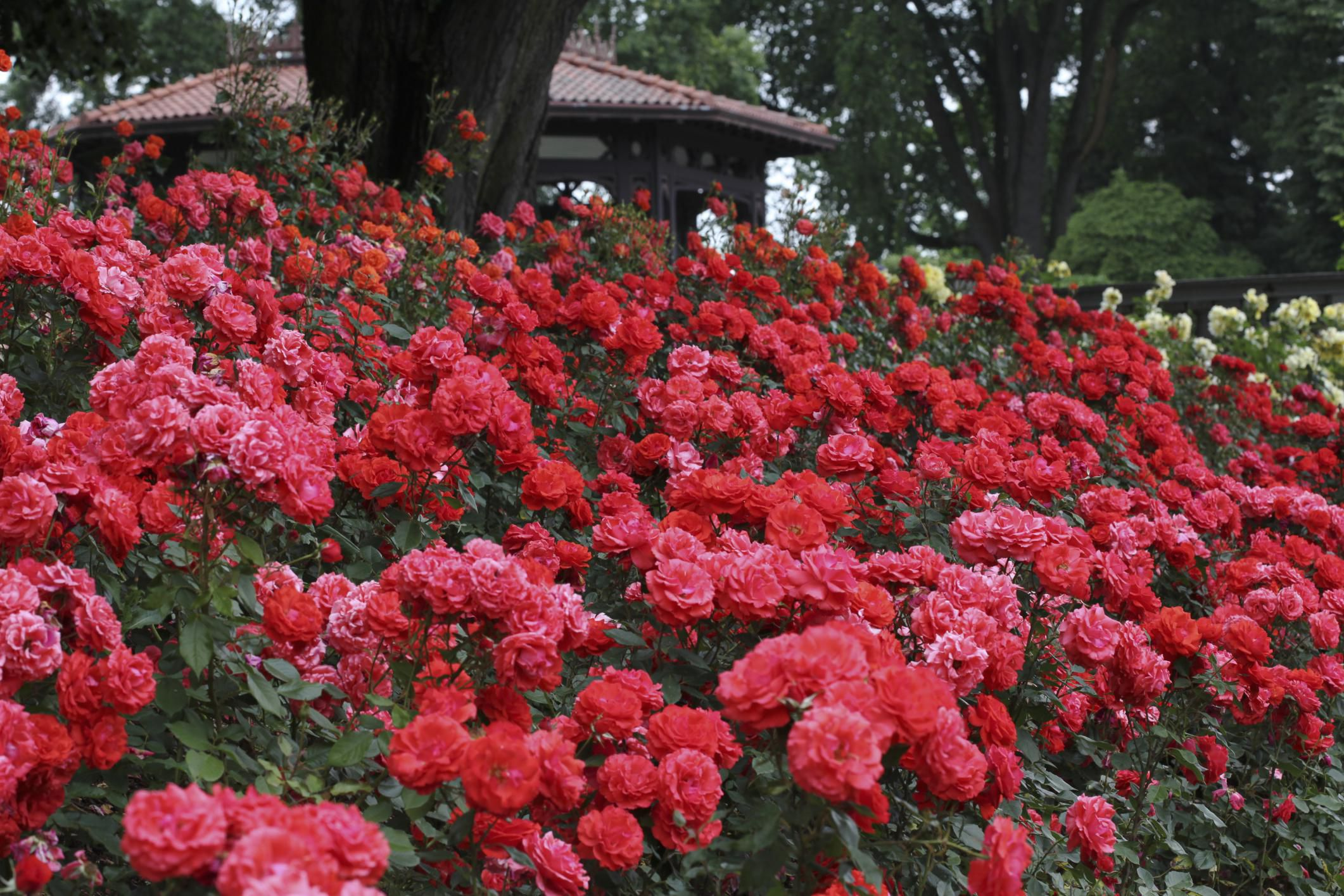 create a rose hedge using floribunda roses - Garden Rose