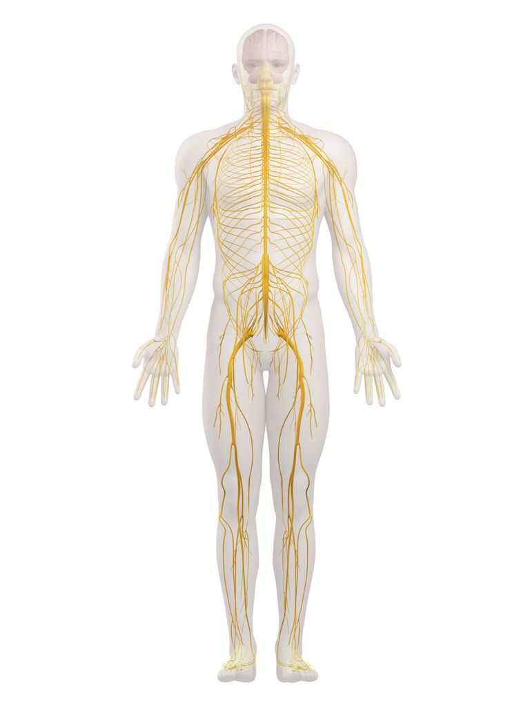 nervoussystem.jpg