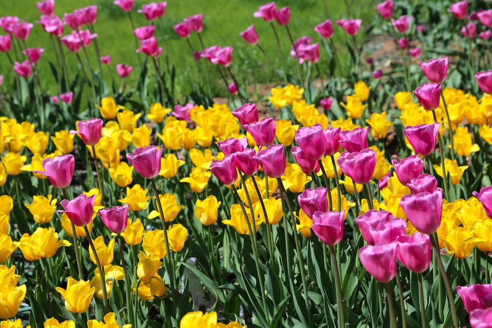 Bed of yellow and purple tulips.