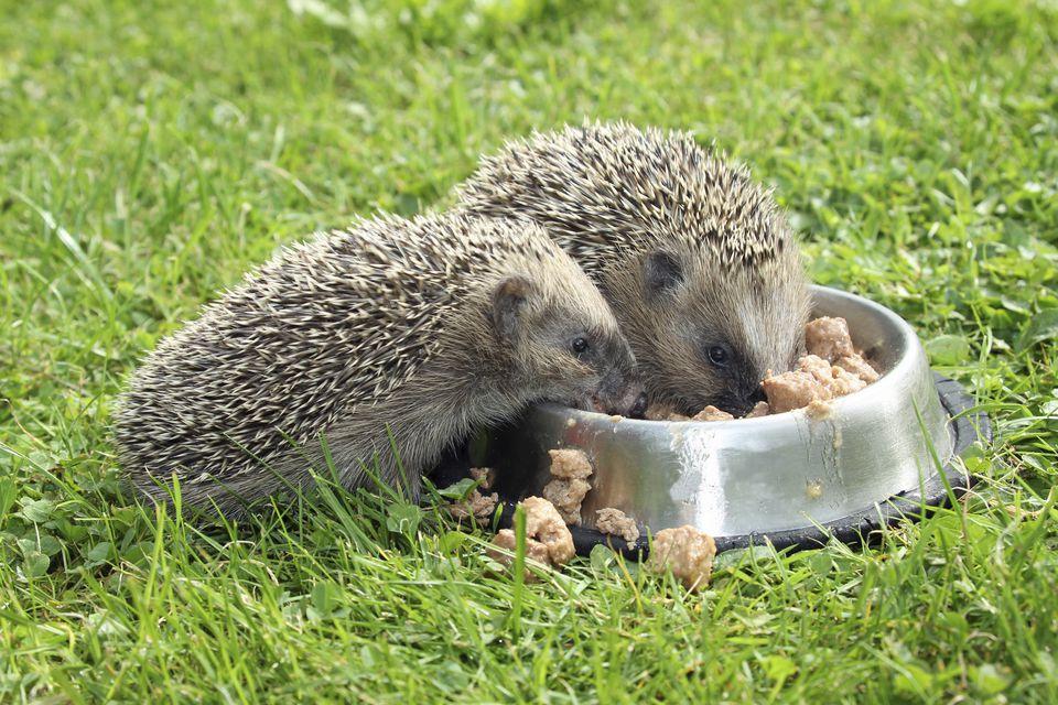 Hedgehog -Erinaceus europaeus-, young animals, 4 weeks, feeding from feeding bowl in the garden, Allgau, Bavaria, Germany