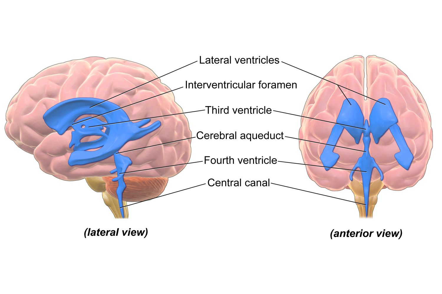 Anatomy of the brain cerebellum function ventricles of the brain ccuart Image collections