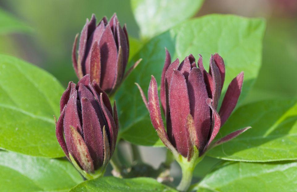 Carolina Allspice Sweetshrub