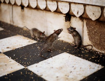 7 Poison Free Ways To Rodent Proof Your Home