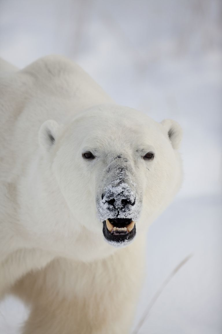 Close-up of a Polar Bear (Ursus maritimus) looking fierce with its mouth open and snow on its nose on the coast of Hudson Bay near the Seal River estuary (north of Churchill), Manitoba, Canada
