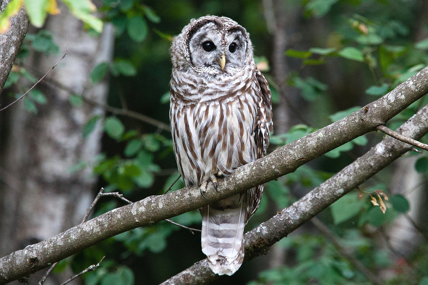 Barred Owl Strix Varia Hoot