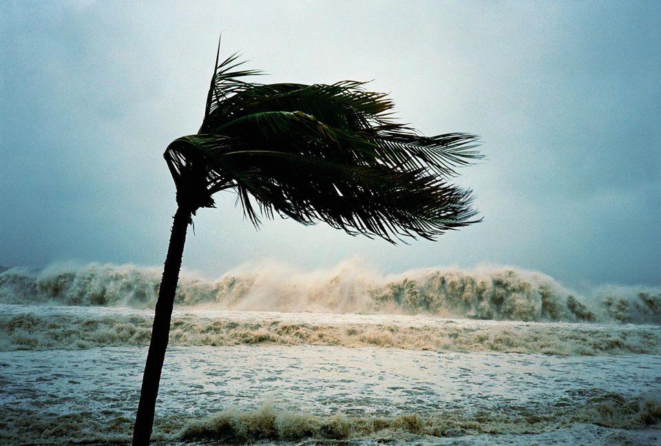Coconut palm (Cocos nucifera) blowing during hurricane