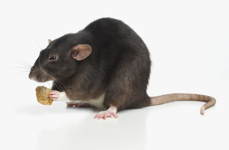 What Do Pet Rats Eat