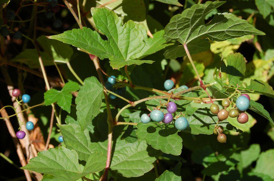 Image of porcelain berry vine.
