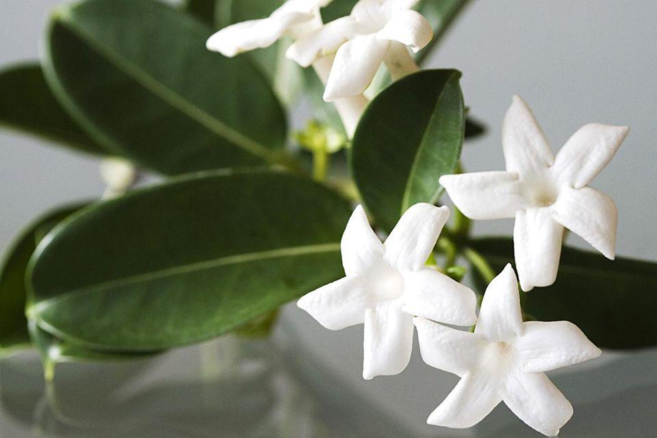 Stephanotis Flower, Wedding Centerpiece