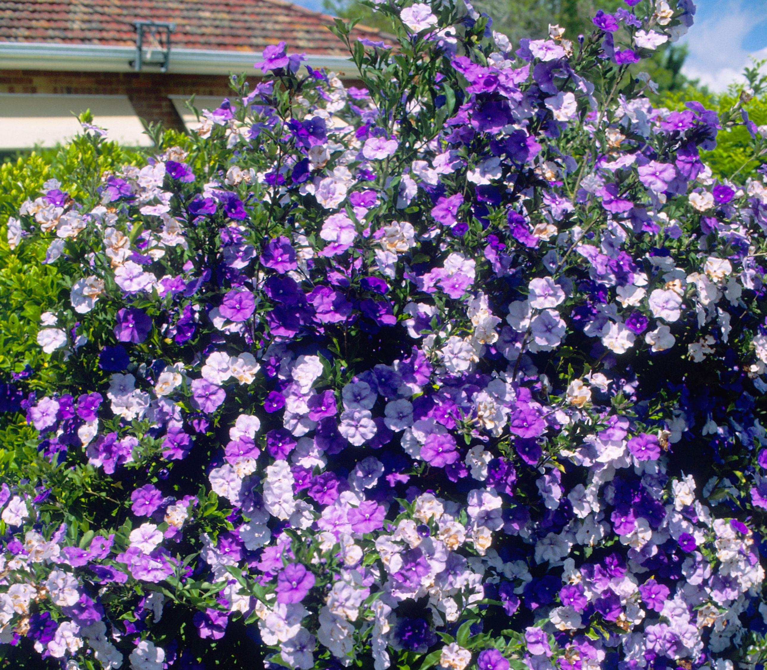 Flores del ayer hoy y ma ana - Arbusto pequeno con flores ...