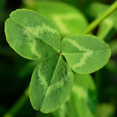 Photo of red clover leaf.