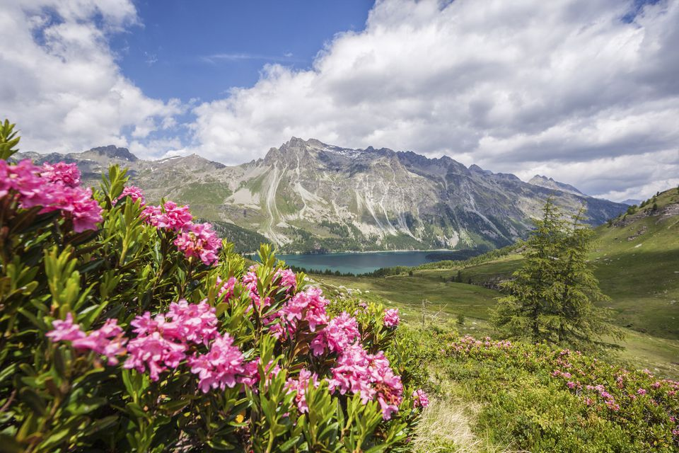 Rhododendron bushes in an alpine scene, with lake and mountains in background.