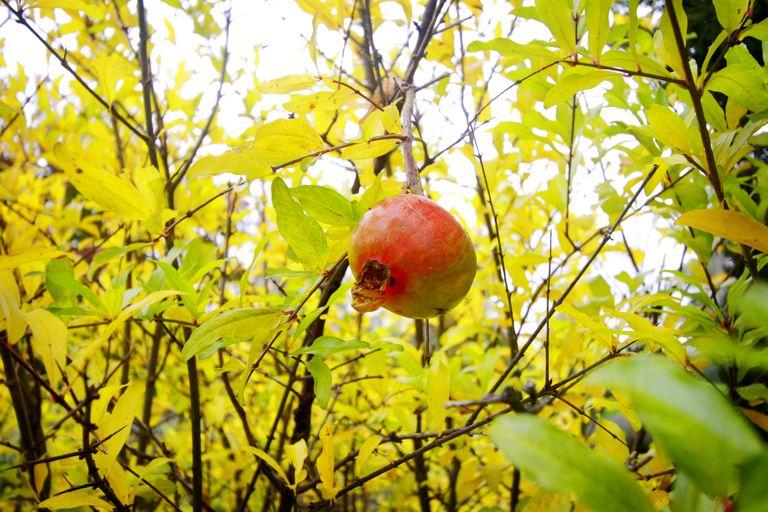 Granado en otoño