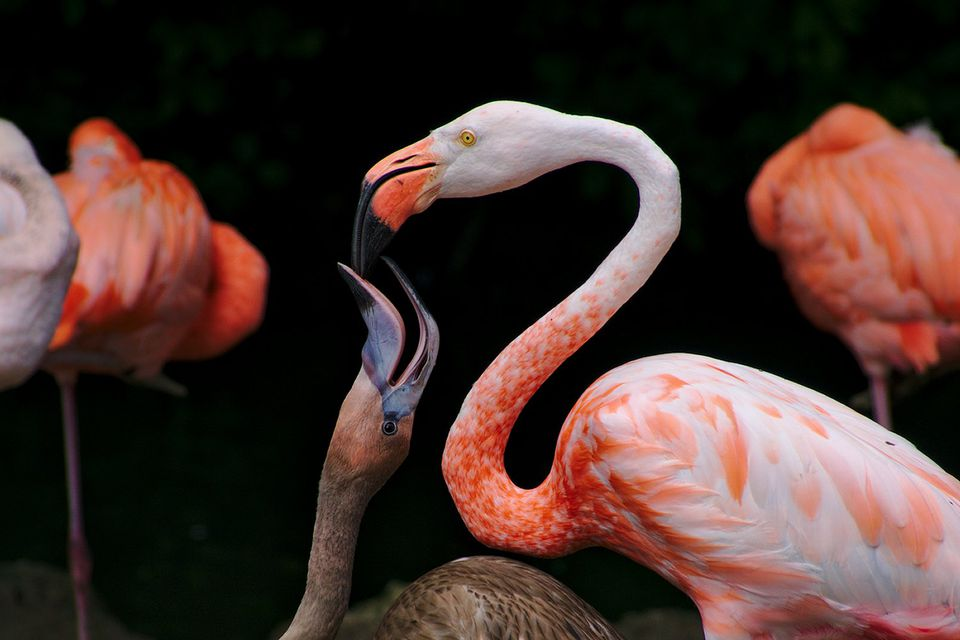 Flamingo Feeding Crop Milk to its Chick
