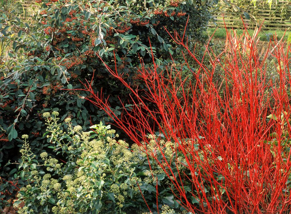 Red Twig Dogwood Shrubs Care and Growing Tips