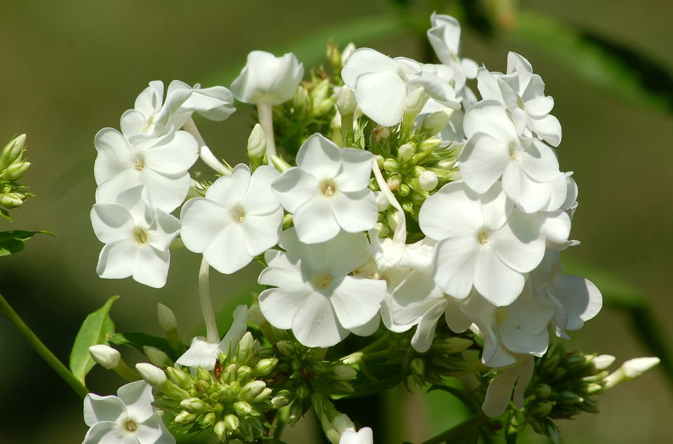 Image showing what David phlox looks like in bloom.