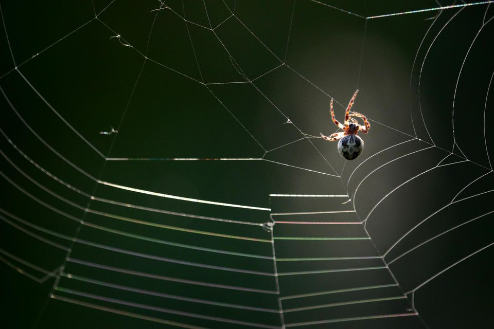 Spider weaving web