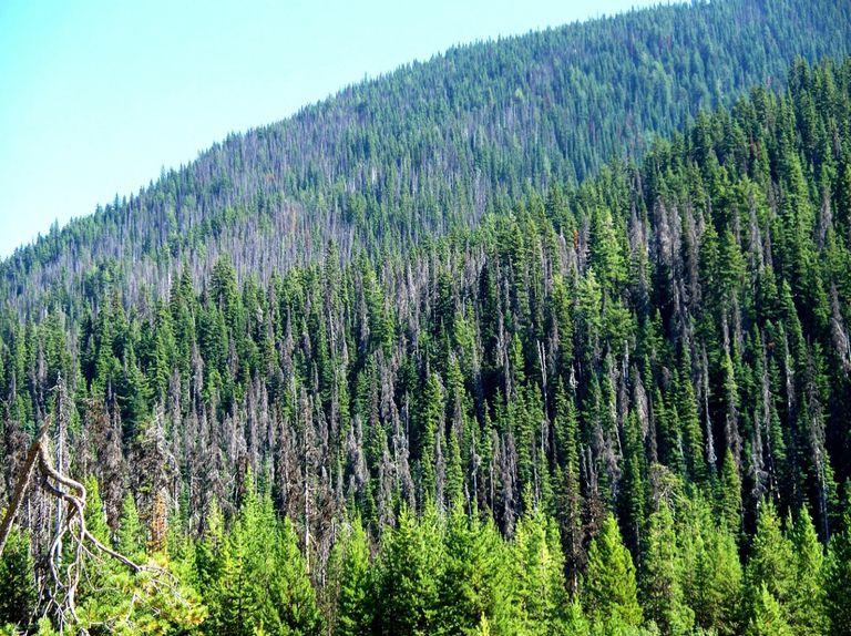 Pine Beetle Damage in British Columbia