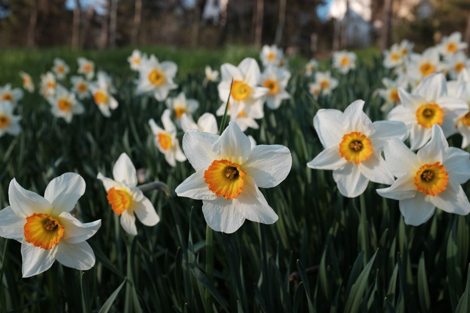 Top 6 spring blooming bulbs close up of white flowers blooming on field mightylinksfo