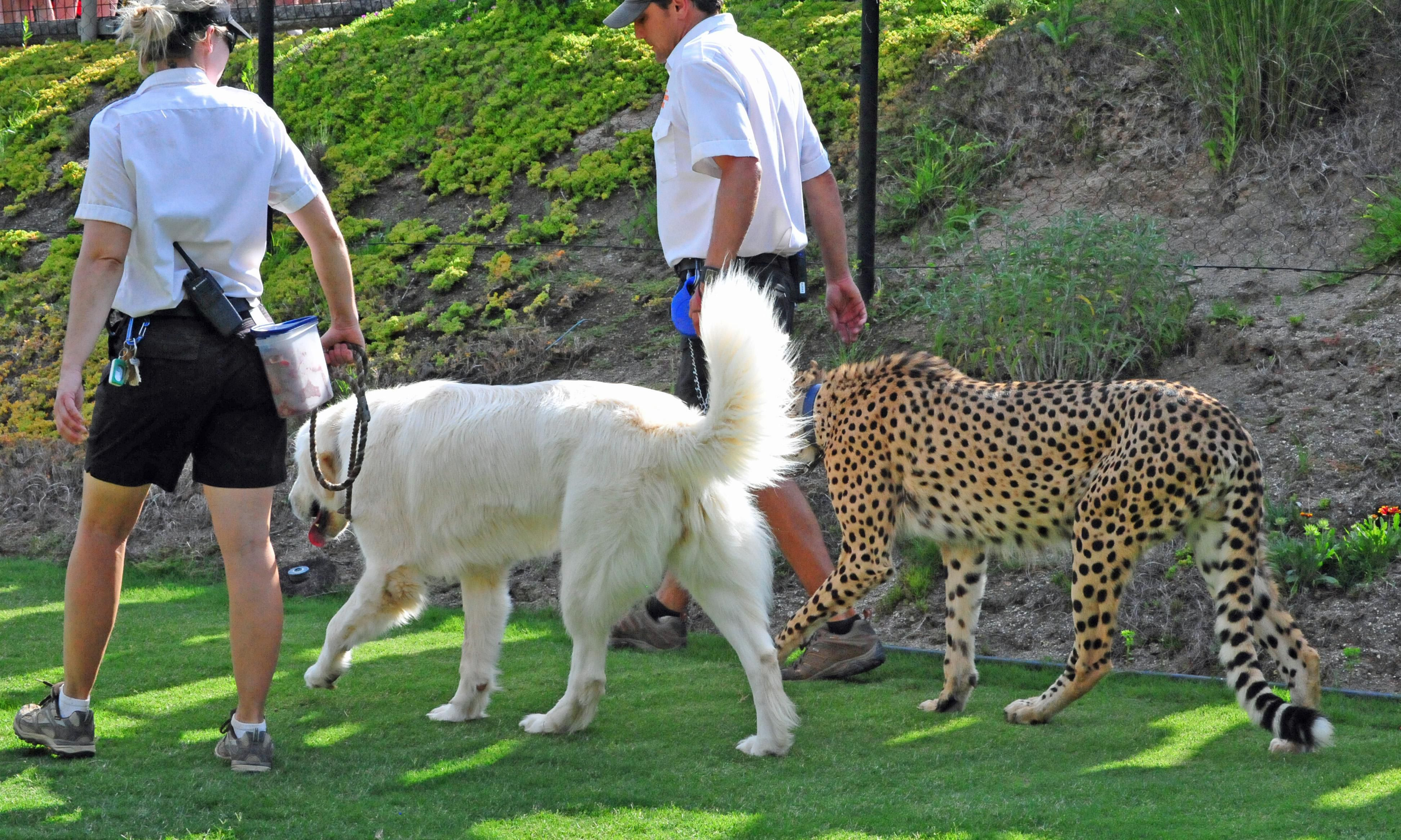 How Dogs Are Helping Cheetahs - Cheetahs can be so shy that zoos give them emotional support dogs