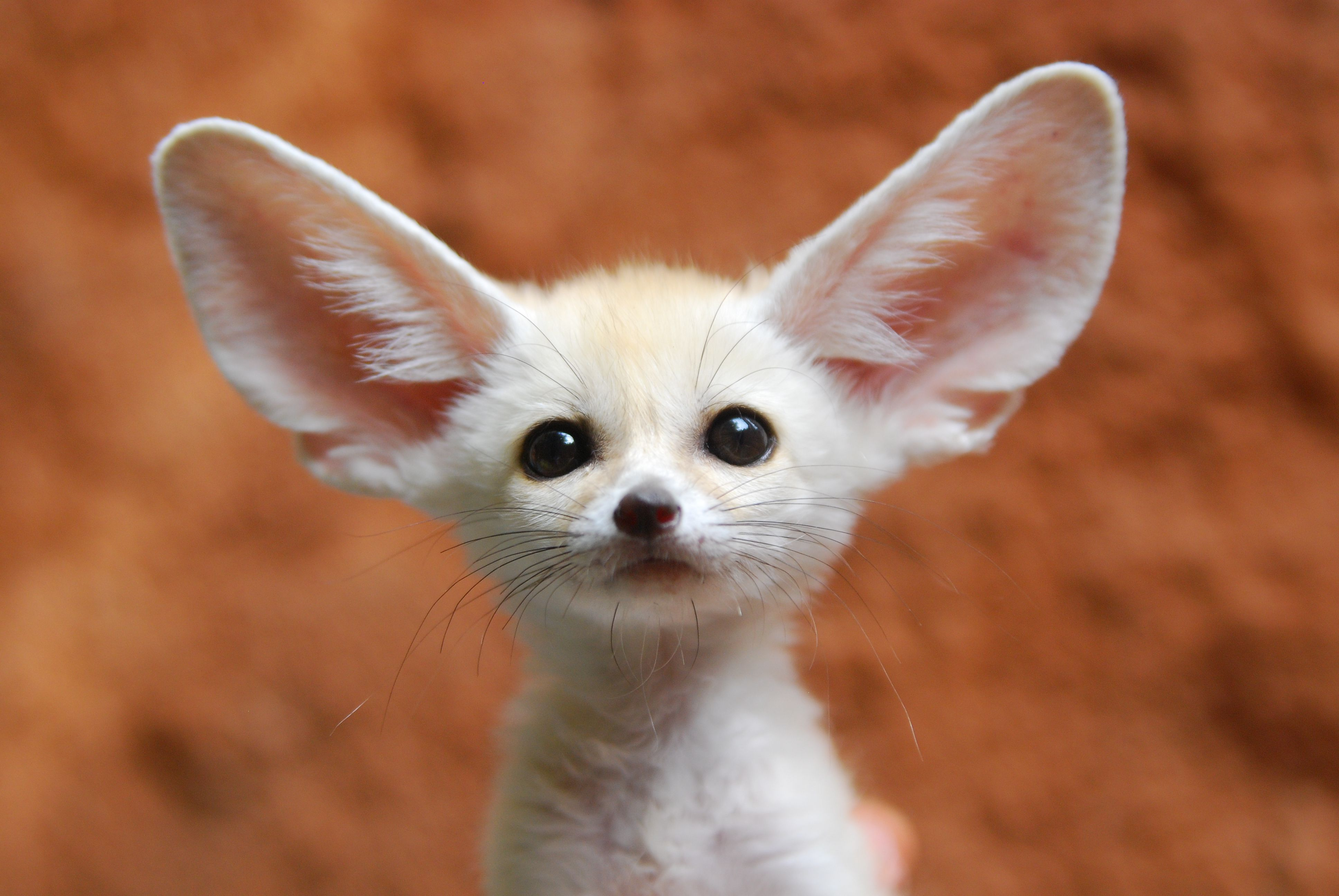fennec foxes as pets what to expect